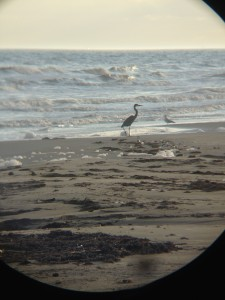 Surfside Great Blue Heron
